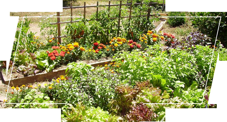 Companion plants in the garden