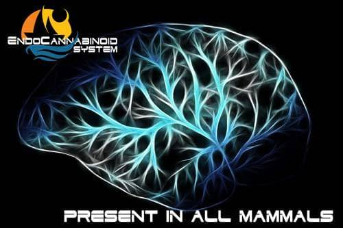 Endocannabinoid system for CBD Can CBD Cure Anxiety