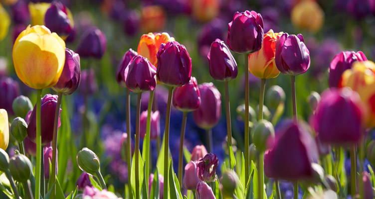 Tulpenbollen planten
