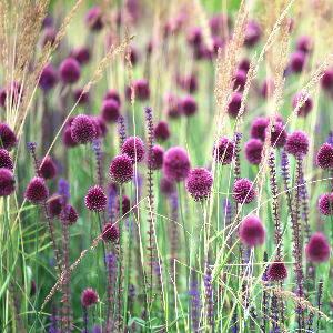 Alliums & ornamental grasses