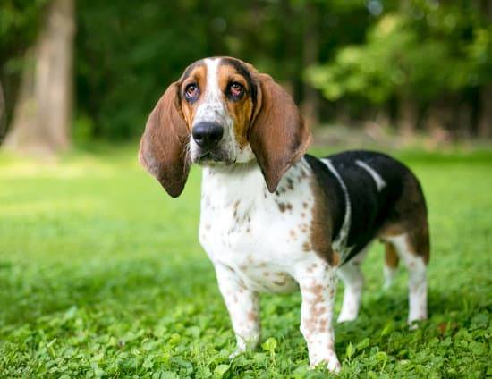 A basset hound with ectropion stands in green grass