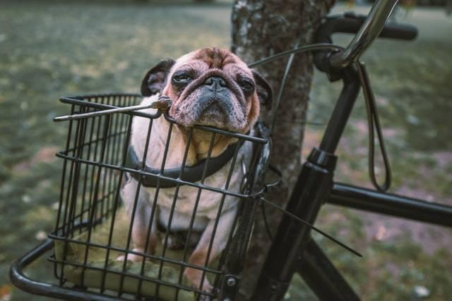 Small Dog In A Bike's Basket