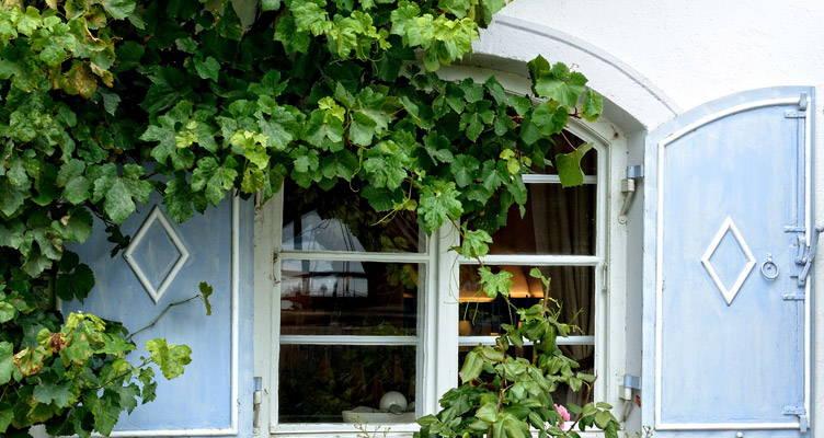 Zelfhechtende klimplanten: klimop (Hedera helix)