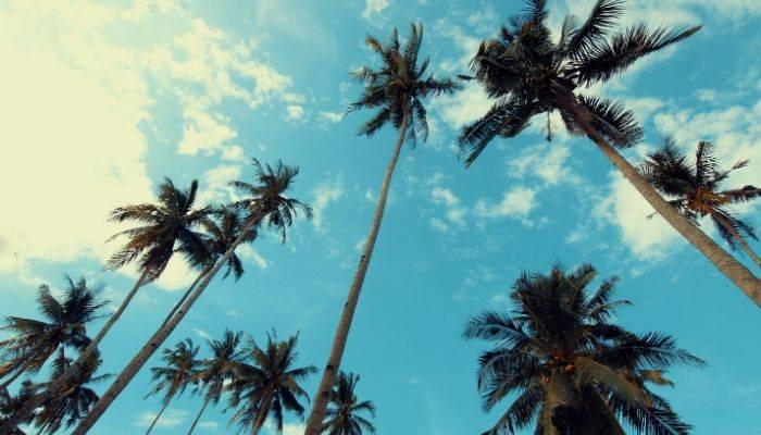 Looking up at palm trees under blue skies
