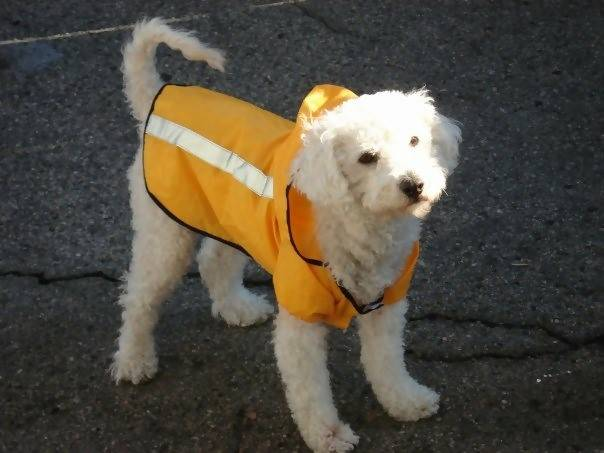 A white puppy wearing a bright orange vest with a reflector strip. Photo by Thomo16