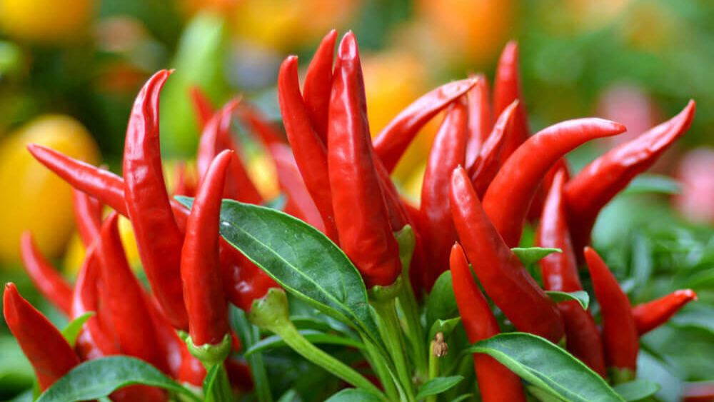 fresh red birds eye chili peppers growing on the plant