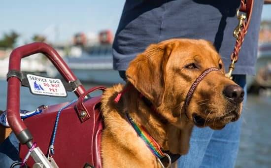 A golden retriever wearing a red leather service dog vest and head halter