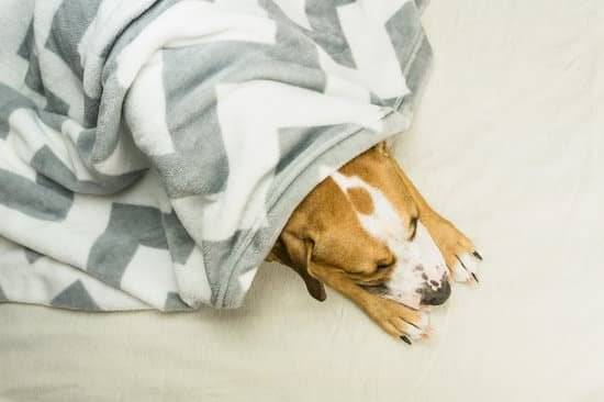 A brown and white dog lying underneath a blanket.