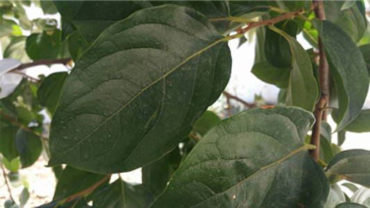 Diospyros kaki, courtesy of https://commons.wikimedia.org/wiki/User:Saadkhan12345