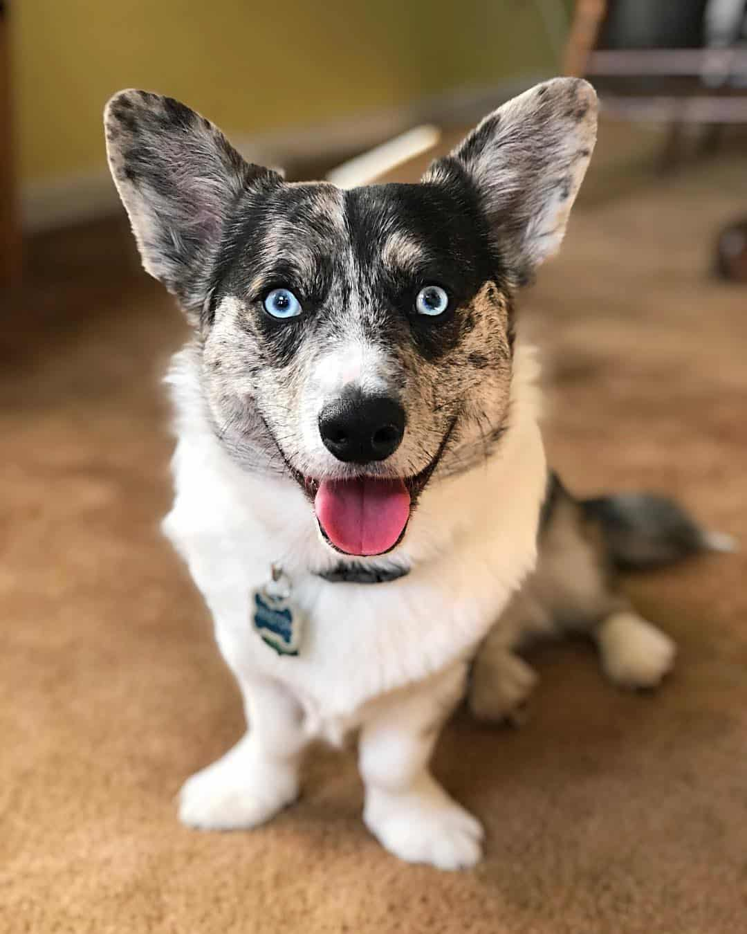 corgi husky mixes are a wonderful hybrid breed