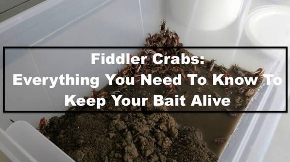 Guide For Raising Fiddler Crabs