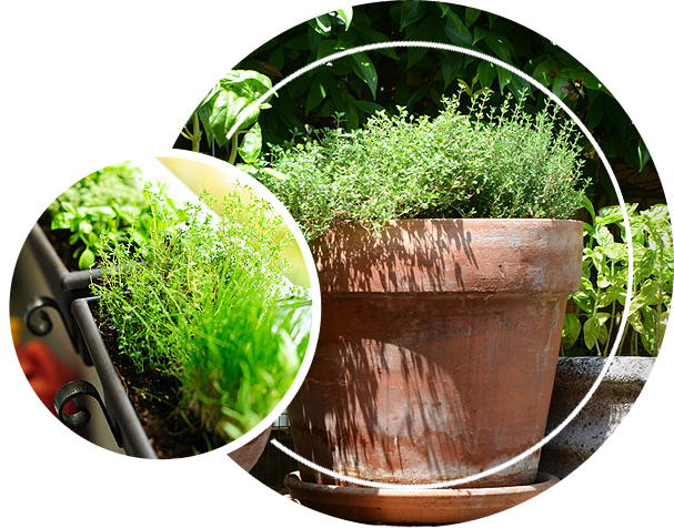A herb plant on a flower pot