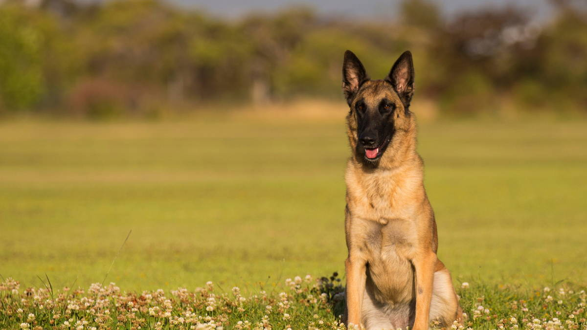 A Belgian Malinois dog sits in a green field