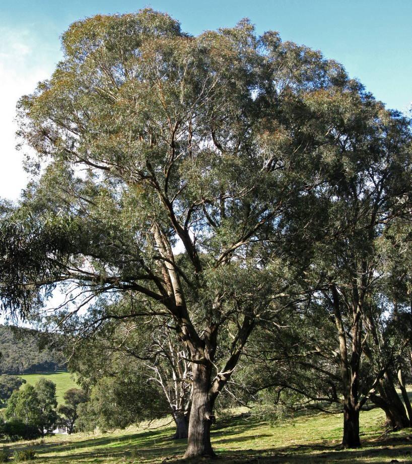 Eucaliptus radiata arbol