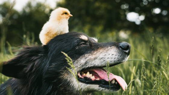 Baby chicken sitting on a black and white dog's head in a field