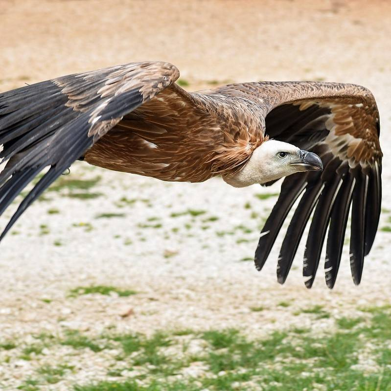 A Griffon vulture flying low