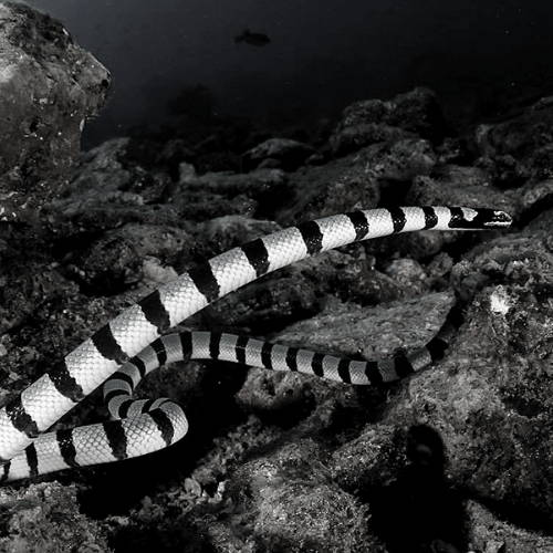 Sea Snake Facts: What to Do When You See One While Surfing