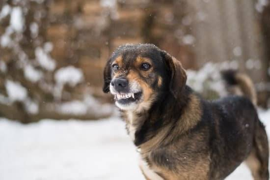 a black and tan dog outside in the snow w in snow with lips snarrled