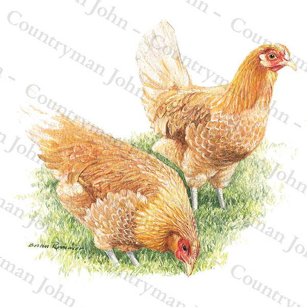 Countryman John Feeding Hens Artwork - 1105