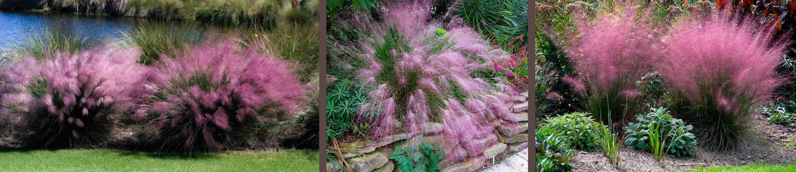 when does pink muhly grass bloom