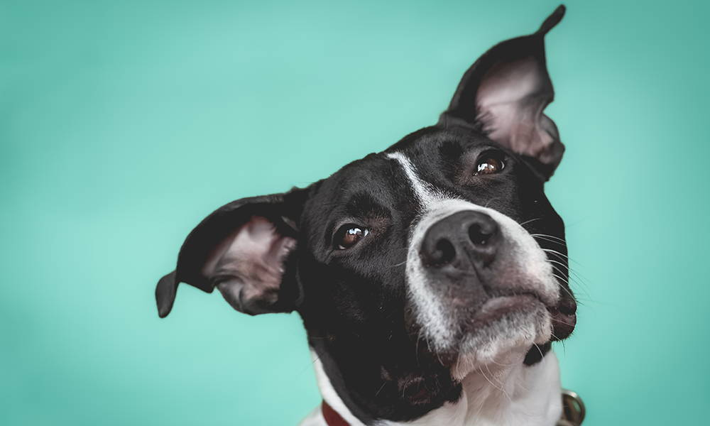 black and white pit bull dog listening