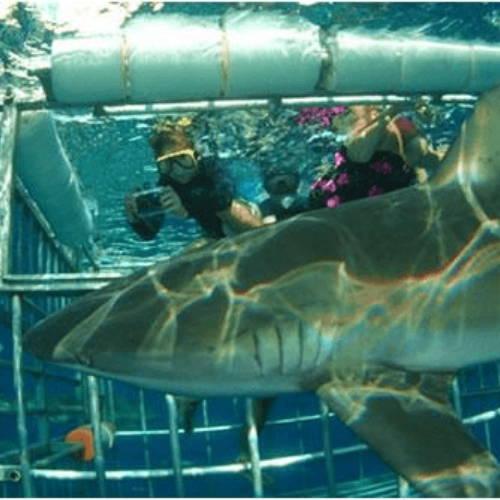 Shark Allies Shark Cage