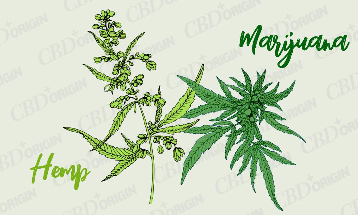 Difference Between Hemp and Marijuana