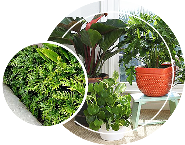 Philodendron plant inside the house