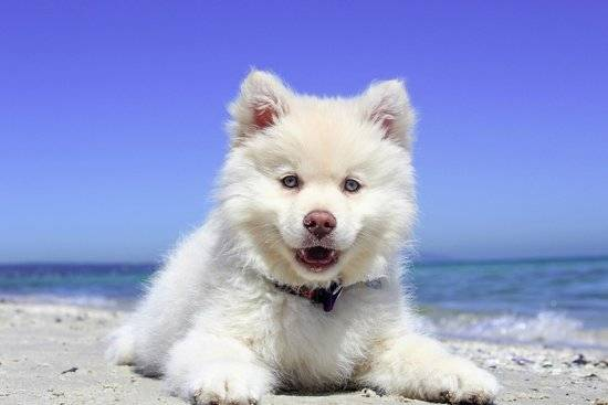 A white puppy laying on a beach