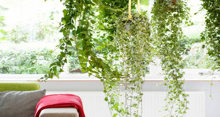 Převislé rostliny: atraktivní zelený trend, i v roce 2020