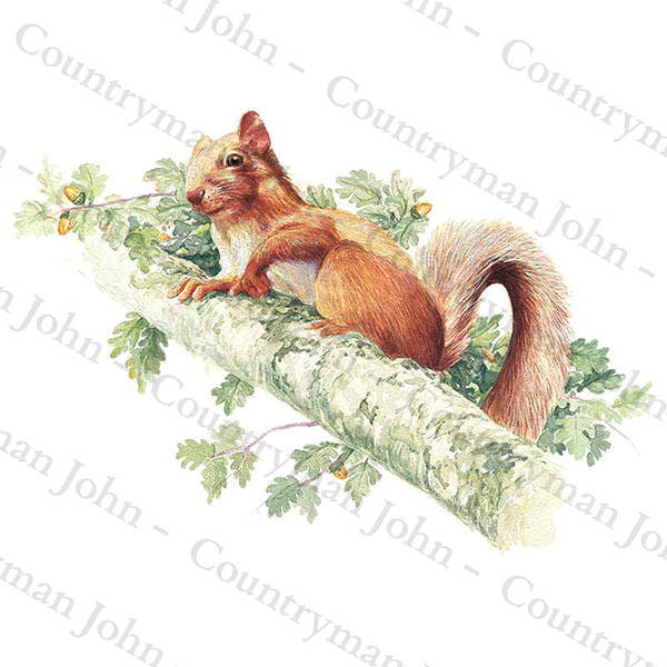 Countryman John Red Squirrel Artwork - 1402