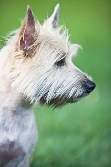 a white cairn terrier standing in a green field