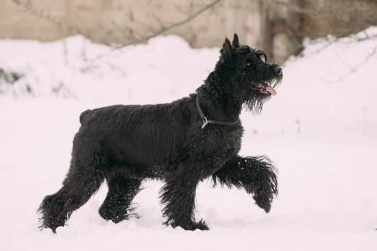 A black schnauzer in the snow