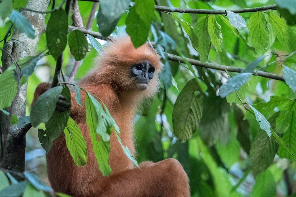 Travelbay Borneo Tours - Customer Reviews - Simon Collard - Danum Valley - Red-leaf monkey