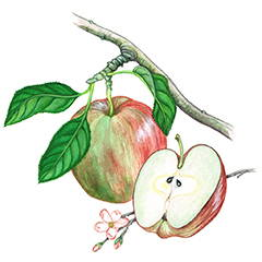 APPLE SEED OIL Good source of omega 6 & 9 fatty acids to help moisturize skin and leaves your skin feeling smooth & soft.