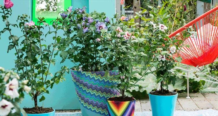 Terrassenpflanze: Hibiskus