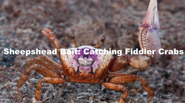How To Catch Fiddler Crabs