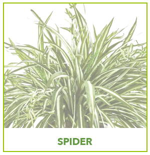 ARTIFICIAL SPIDER PLANTS