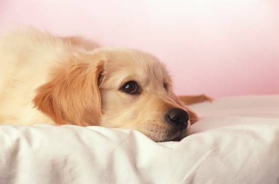 A golden retriever puppy laying on a white bed