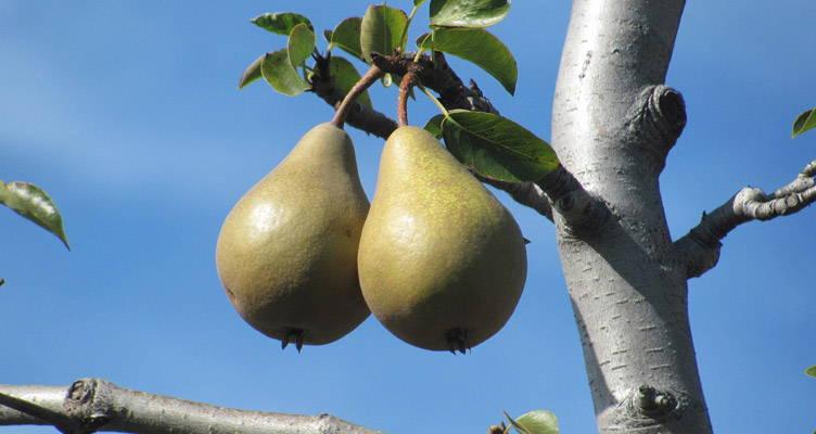 Snoeien perenboom