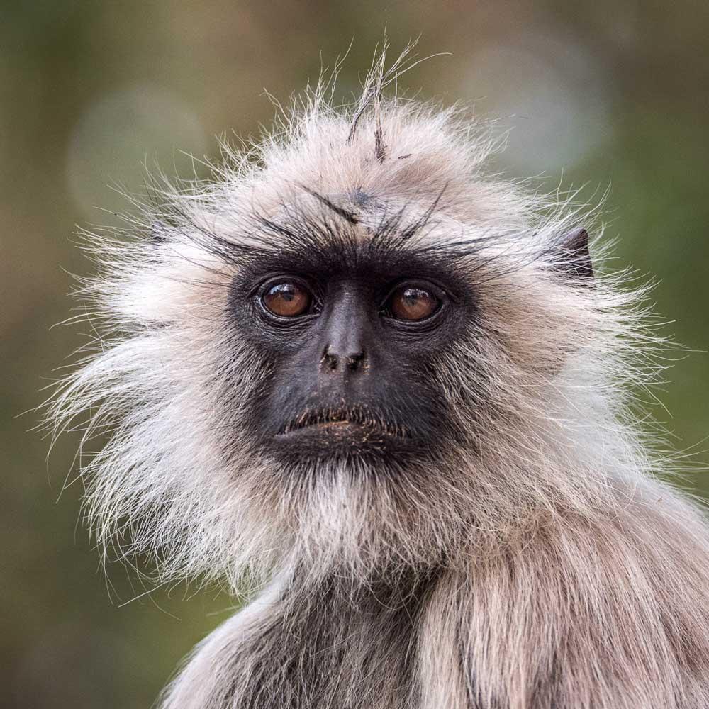 Travelbay India Tours - Customer Reviews - Simon & Gina in India - Kanha National Park grey langeur