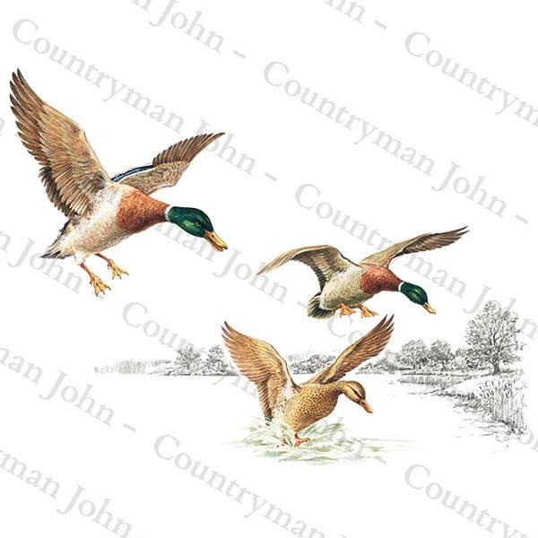 Countryman John Mallards Coming in to Land Artwork - 704