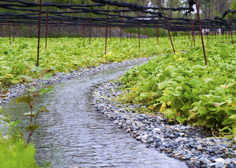 Wasabi field with irrigation