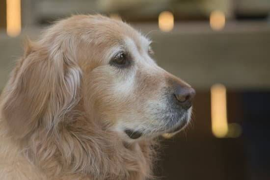 An older Golden retriever looking past the camera