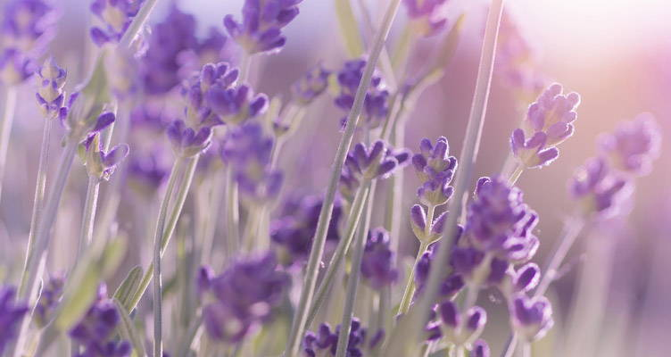 Lavendel / Lavandula