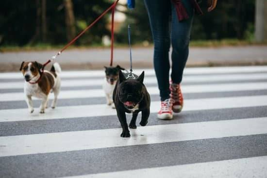 A person walking three small dogs across a  crosswalk