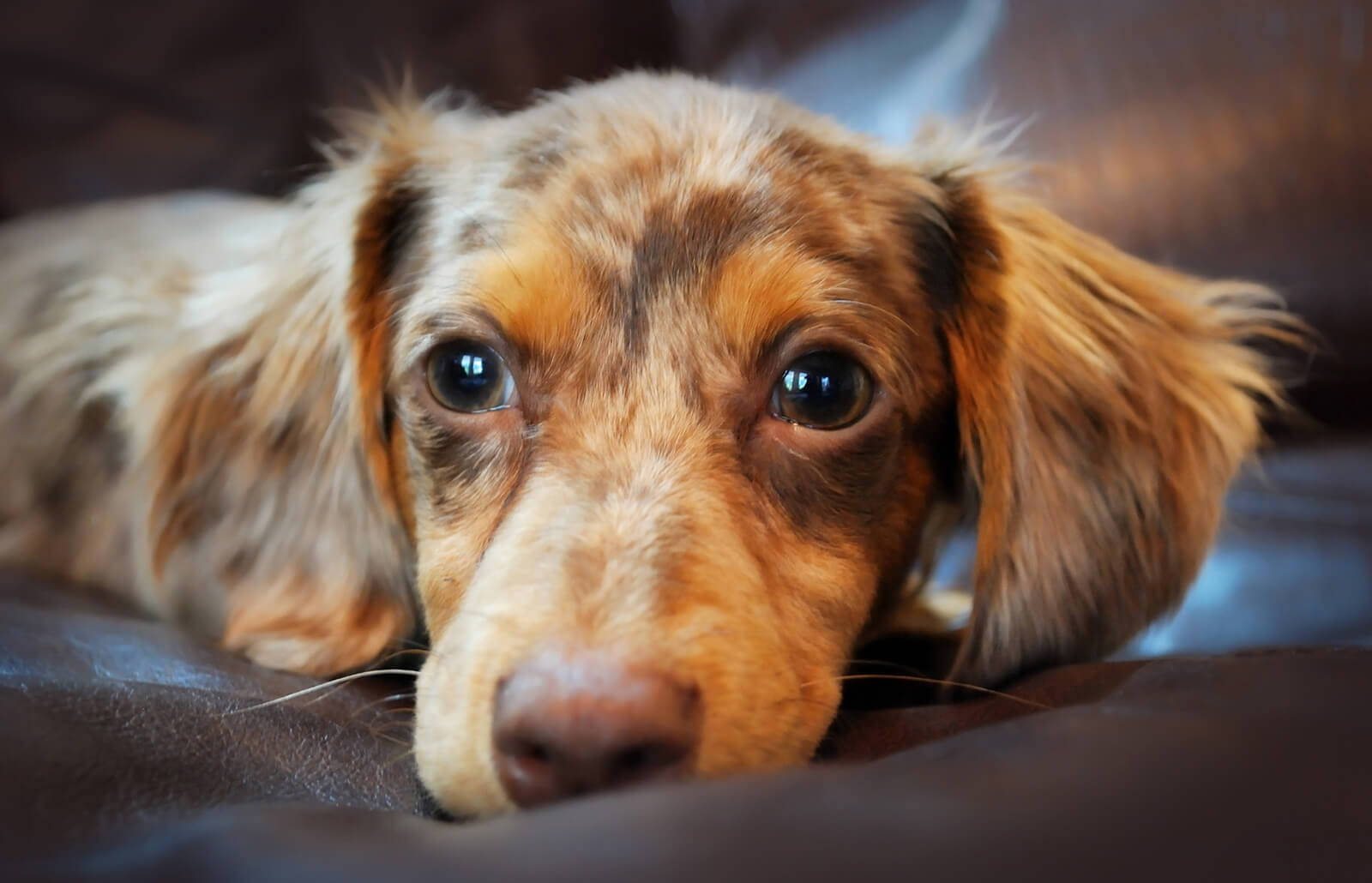 a brown and tan merle Chiweenie.