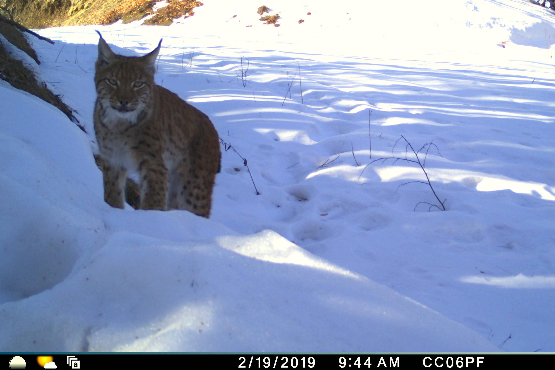 A Eurasian lynx startes at a camera trap
