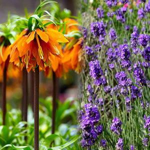 Crown imperial & lavender
