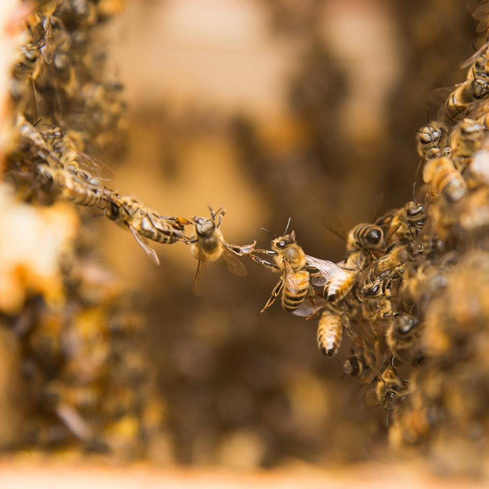 Photo of honeybees festooning